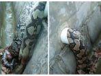 berita-ular-bau-busuk_20170223_161817.jpg