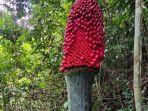 bunga-bangkai-di-agam-sumatera-barat-berbuah-biasanya-mekar-lalu-mati.jpg