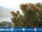 bunga-edelweis-di-sekitaran-ranu-kumbolo-gunung-semeru-jawa-timur.jpg