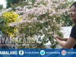 bunga-tabebuya-di-kawasan-marmoyo-depan-kebun-binatang-surabaya-hingga-jalan-diponegoro.jpg