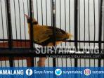 burung-yang-diembat-maling-asal-dampit-malang_20181012_125223.jpg