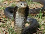 cara-mengatasi-teror-ular-kobra.jpg