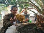 drh-pujiono-memperlihatkan-tanaman-kurma-nusantara-yang-dapat-berbuah-pada-iklim-di-indonesia.jpg
