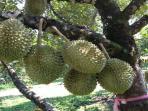 durian-wonosalam.jpg