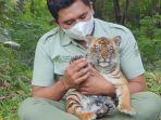 harimau-taman-safari-prigen-melahirkan.jpg