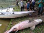 ikan-raksasa-asal-sungai-amazon-ditemukan-mati-di-danau-malaysia.jpg