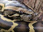 ilustrasi-ular-piton-yng-digigit-yusuf.jpg
