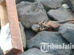 jenglot-ditemukan-warga-di-bebatuan-pantai-kenjeran-pada-senin-16102017_20171017_164533.jpg