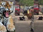 kakek-nyaris-mati-tegang-dihampiri-harimau-perilaku-macan-yang-tak-terduga-bikin-warga-keheranan.jpg