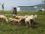 kambing-makan-celana-dalam-warga-sampang-madura.jpg
