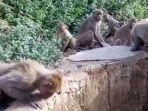 kronologi-bayi-kembar-berusia-8-hari-diculik-kawanan-monyet-1-meninggal-saat-dilempar-dari-atap.jpg