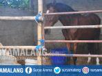 kuda-pacuan-di-peternakan-kuda-di-desa-tertek-pare-kabupaten-kediri_20170711_132956.jpg