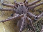 laba-laba-raksasa-australia_20161104_084944.jpg
