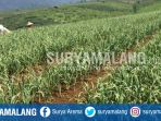 lahan-pertanian-bawang-putih-di-tulungrejo-kota-batu_20170611_171406.jpg