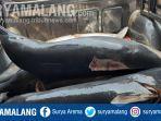 lumba-lumba-pantai-sine-desa-kalibatur-kecamatan-kalidawir-tulungagung.jpg