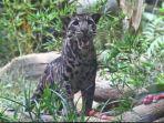 macan-dahan-batu-secret-zoo-jatim-park-group-jtp-kota-batu.jpg