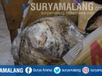 muntahan-ikan-paus-yang-ditemukan-nelayan-di-kupang_20180419_094731.jpg