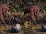 orangutan-menolong-manusia-viral.jpg