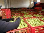 pekerja-apel-batu.jpg