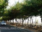 pemerintah-kota-surabaya-terus-tanam-pohon-cemara-udang.jpg