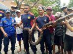 penangkapan-ular-piton-sepanjang-35-meter-di-rumah-warga-jalan-danau-bratan-timur-kota-malang.jpg