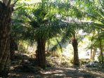 perkebunan-kelapa-sawit-di-bandungrejo-bantur-kabupaten-malang.jpg