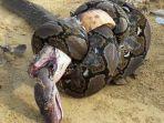 pertarungan-ular-sanca-dan-king-kobra_20180619_195343.jpg