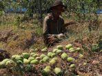 petani-apel-di-kota-batu-terancam-gagal-panen-karena-buah-apel.jpg