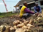 petani-bengkoang-di-desa-jatiguwi-kecamatan-sumberpucung-kabupaten-malang.jpg