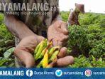 petani-di-desa-cinandang-kecamatan-dawarblandong-mojokerto-cabai-penyakit-antraknosa.jpg