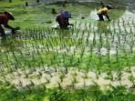 petani-di-kabupaten-malang-menanam-padi-di-lahan-sawah.jpg
