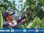 petani-jeruk-di-desa-selorejo-kecamatan-dau-kabupaten-malang.jpg