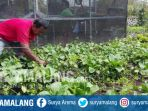 petani-organik-memanen-sayuran-di-kelurahan-temas-kota-batu_20170905_181427.jpg