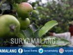 petani-saat-panen-apel-di-kota-batu.jpg