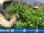 petani-seledri-panen-di-desa-sumberejo-kota-batu-minggu-2782017_20170827_185608.jpg
