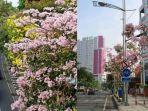 pohon-tabebuya-di-kota-surabaya-brazil-malang-sakura.jpg