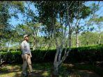 pohon-teh-yang-ditanam-pada-1910-di-kebun-teh-wonosari-kabupaten-malang.jpg