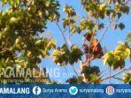 probo-panjat-pohon-jati-setinggi-20-meter-di-tulungagung.jpg