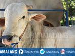 sapi-milik-jokowi-saat-berada-di-masjid-al-akbar.jpg