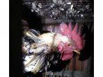 seekor-ayam-jantan-belum-juga-mati-padahal-sudah-disembelih-tiga-hari_20170907_151004.jpg