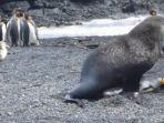 singa-laut-mengawini-penguin_20170122_124449.jpg