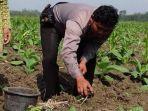 temuan-baru-petani-pembudidaya-benih-kangkung-di-gresik-ditangkap-polisi-kasus-yang-sama-di-kediri.jpg