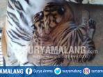 tiga-anak-harimau-sumatera-lahir-pada-2-juli-lalu-di-maharani-zoo-dan-goa-lamongan.jpg