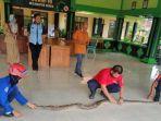 ular-piton-di-kecamatan-kerek-tuban.jpg