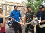 ular-piton-sepanjang-tiga-meter-menggegerkan-warga-desa-sumberejo-kecamatan-rengel-tuban.jpg