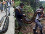 ular-python-ditemukan-warga-malaysia-di-dalam-batang-pohon_20180215_104101.jpg