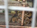 ular-sanca-yang-ditangkap-di-parit-jalan-urip-sumoharjo-kota-malang.jpg