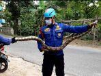 ular-sanca-yang-meresahkan-warga-desa-sumberejo-kecamatan-trucuk-bojonegoro.jpg