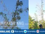 video-viral-hoaks-soal-pohon-bambu-berbuah-di-dusun-duumman-desa-waru-timur-waru-pamekasan.jpg