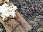 warga-menemukan-sekitar-20-telur-dan-kulit-telur-ular-kobra-di-gudang-jalan-kh-agus-salim-bekasi.jpg